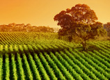 SA_Glowing-Vines-Adelaide-Hills
