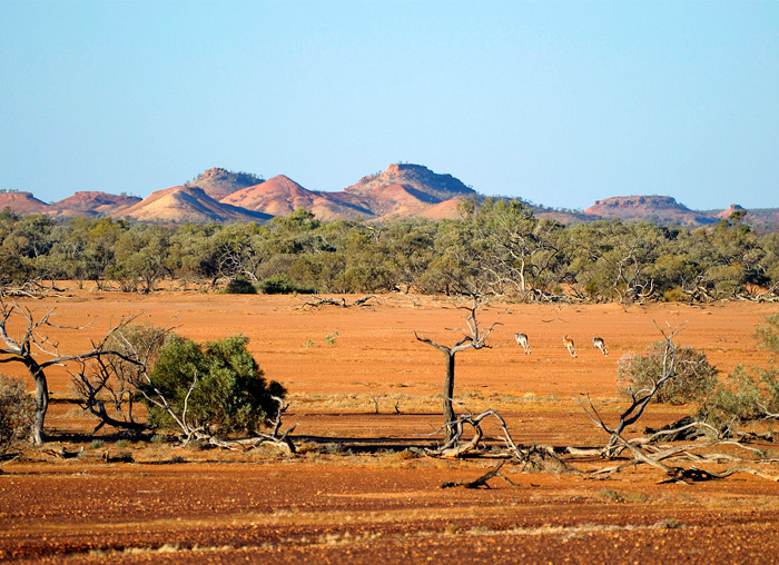 QLD_Kangaroos_Diamantina-National-Park.jpg